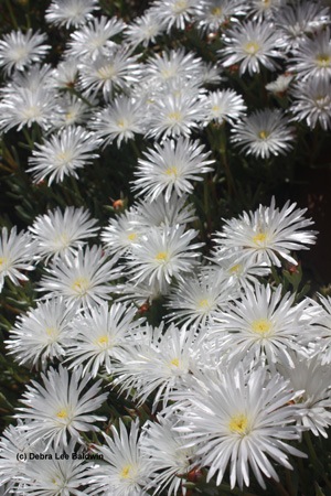 iceplant-flowers-resized