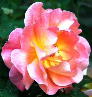single-pink-yellow-rose-resized-cropped