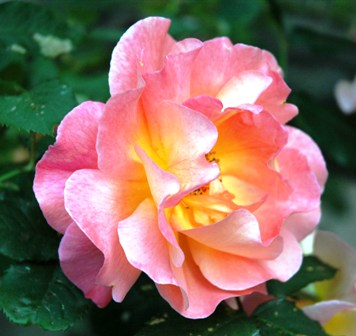 single-pink-yellow-rose-resized