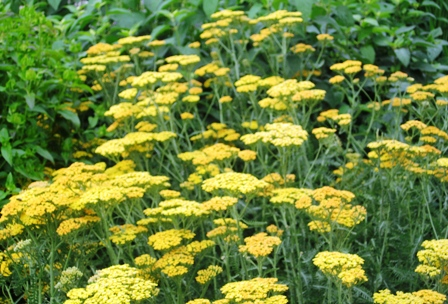 Battery Park Garden- 62009-yellow achillea-resized