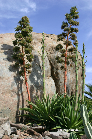 Agave desmettiana in bloom
