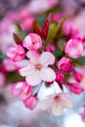 RCP_090423_0544[1].jpg-crabapple-resized