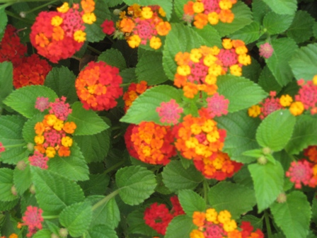 lantana-multi-colored with leaves-resized