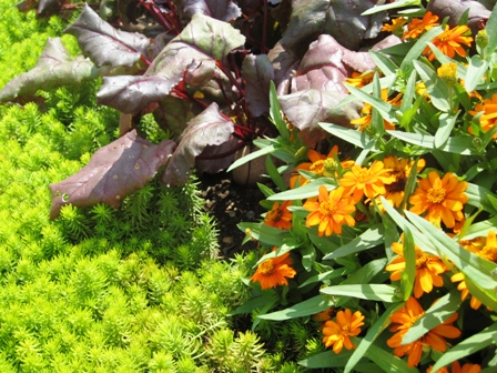s garden-orange zinnias, beets and sedum angelina-resized