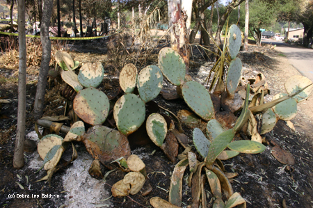Burned opuntia