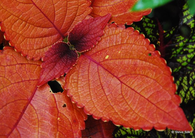 Orange leaves 046