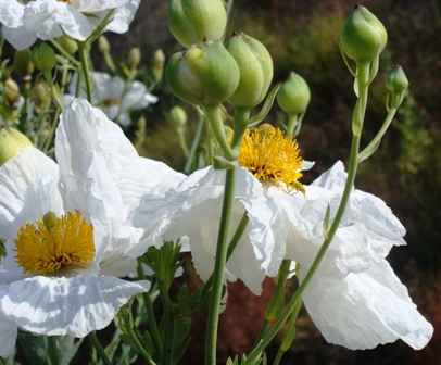 Romneya_coulteri,_Limestone_Cyn_Wash,_5-31-09[1].jpg-resized-Ron of CA-for Q and A