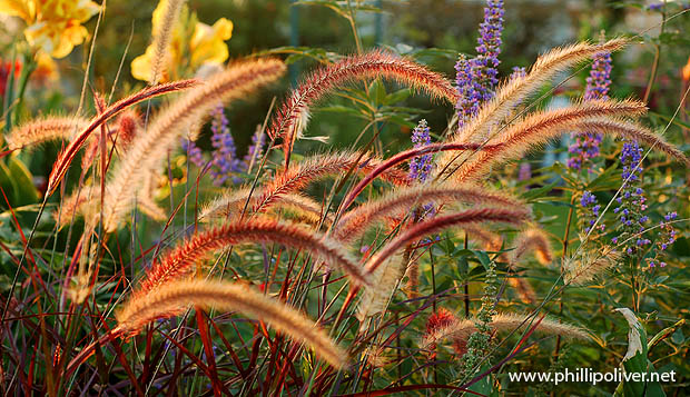 Dirt Therapy Pennisetum set Rubrum with other blooms