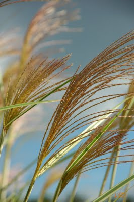 Little Wing Garden Miscanthus seedhead