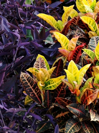Ggw Plant Pick Of The Month Plants With Variegated Foliage