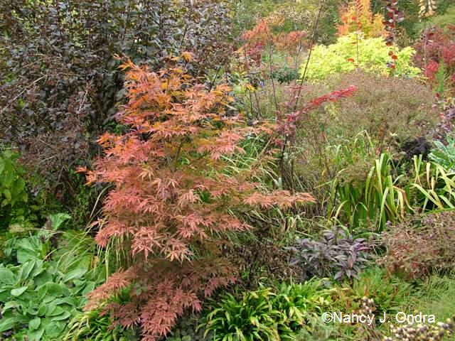 Acer palmatum in front garden Oct 18 09