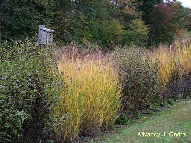 Long border at Hayefield Panicum Northwind oct 12 09