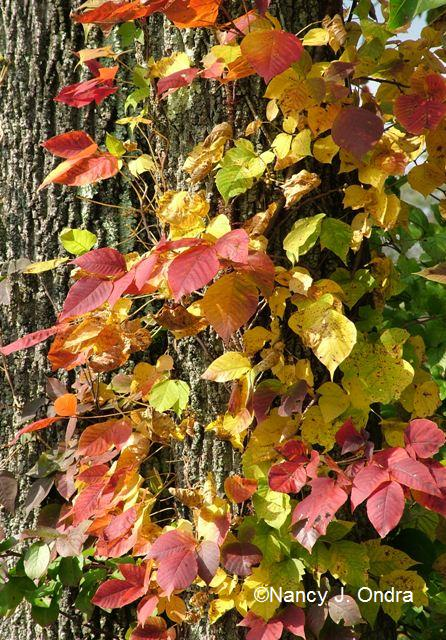 Toxicodendron radicans Oct 13 09