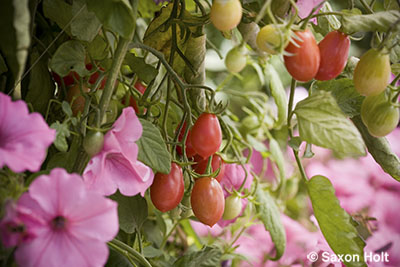 cherry tomatoes and petunias