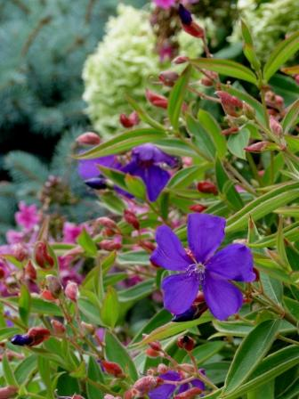 Princess flower (Tibouchina) with Hydrangea arborescens 'Annabelle' and Picea pungens 'Glauca Globsa'.
