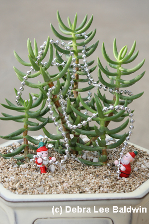 Crassula Xmas resized copy