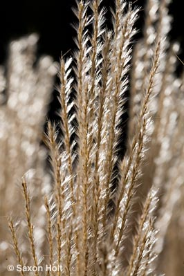 Miscanthus sinensis 'Nippon' silver backlit grass