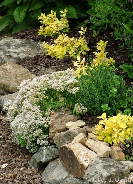 Rock wall with Sedum Teucrium Ceratostigma My Love June 25 07