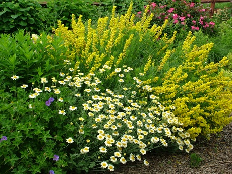Anthemis Susanna Mitchell Baptisia Screaming Yellow Geranium Rozanne