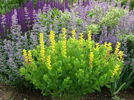 Baptisia Screaming Yellow Nepeta Walker's Low  Cornus SandG Salvia Caradonna