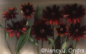 Rudbeckia Cherry Brandy 2