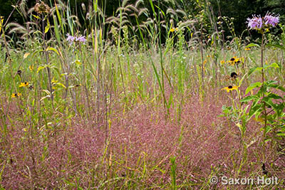 Muhly grass in prairie