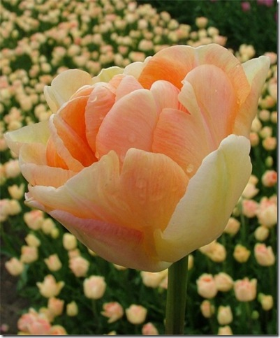 5134_IMAGE-Tulip Charming Beauty-courtesy of Van Egelen
