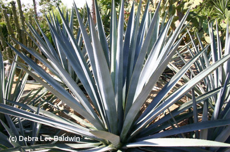 Agave tequiliana_JFR