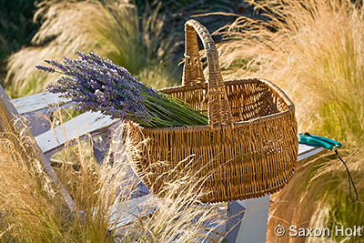 Lavender harvest in basket