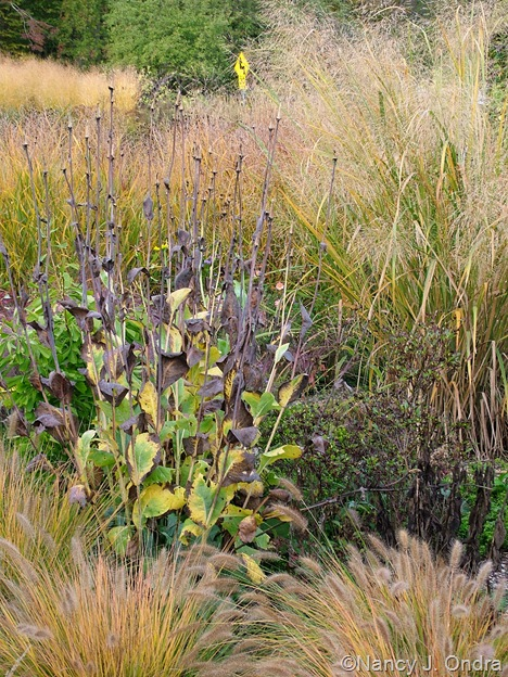 Rudbeckia maxima with Pennisetum alopecuroides 'Cassian' and Panicum virgatum 'Northwind' Oct 11 10