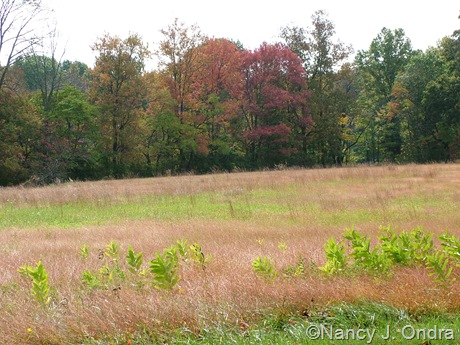 Meadow at farm with Microstegium vimineum and Asclepias syriaca Oct 11 10