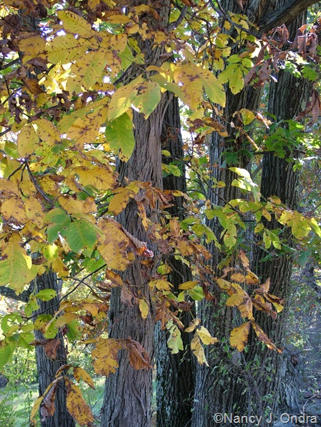Carya ovata fall color Oct 11 10