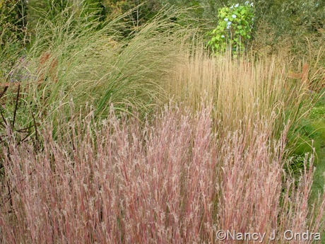 Schizachyrium scoparium 'The Blues' with Panicum amarum 'Dewey Blue' and Calamagrostis x acutiflora 'Karl Foerster' Oct 11 10