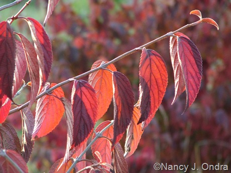Viburnum plicatum fall color Oct 11 10