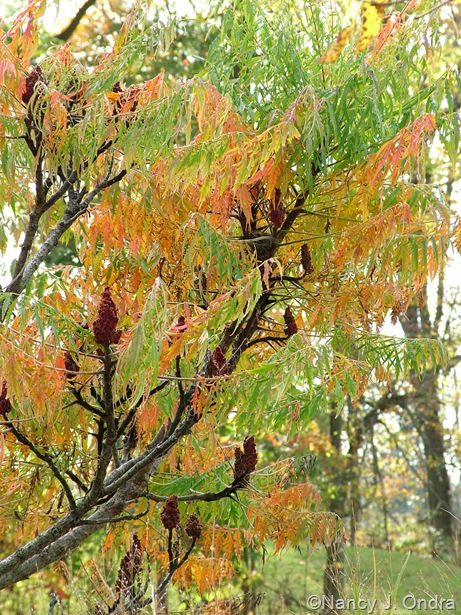 Rhus typhina 'Laciniata' fall color Oct 11 10