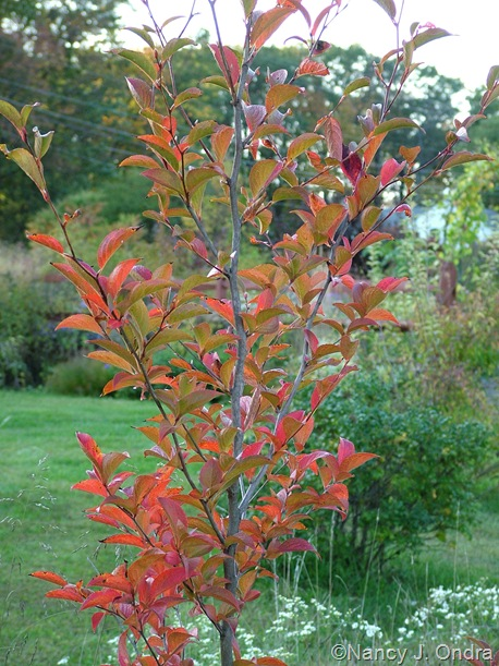 Stewartia fall color Oct 11 10