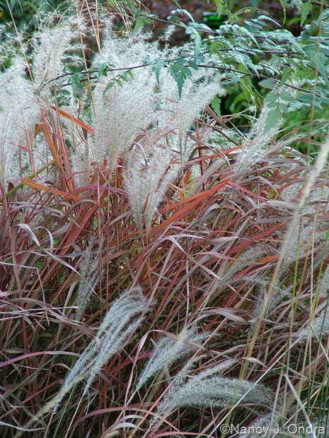 Miscanthus 'Purpurascens' fall color Oct 11 10
