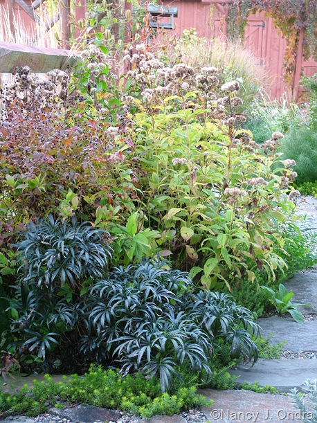 Eupatorium maculatum with Helleborus foetidus and Gillenia stipulata Oct 11 10