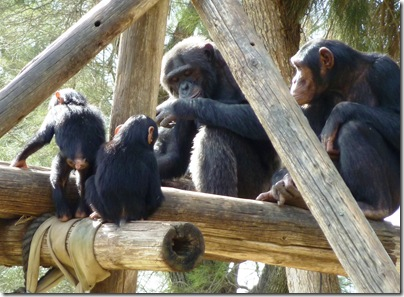 4 chimpanzees on arbor-cropped