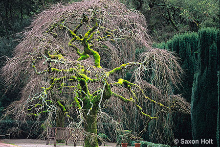 Camperdown elm tree in winter - Filoli garden
