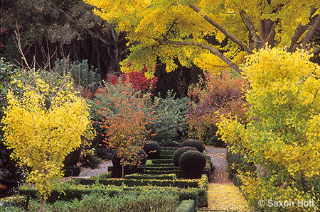 Ginkgo trees in fall color Filoli gardens