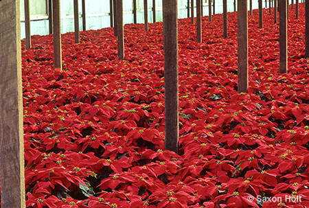 Poinsettia nursery
