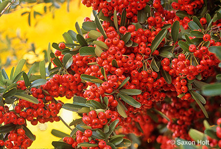 Red Pyracantha berries in winter garden