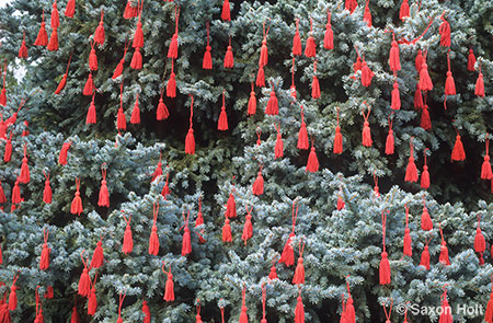 Red tassles on blue spruce tree at christmas