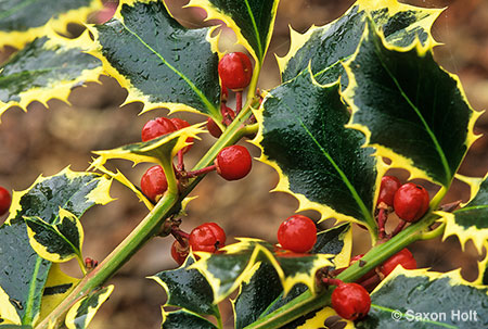 variegated holly with winter berries