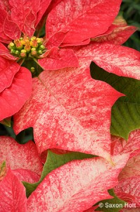 Poinsettia leaf bract
