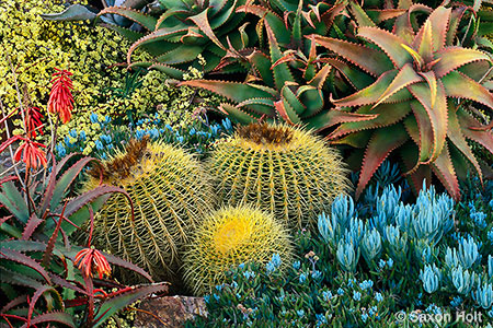 California drought tolerant succulent garden with Golden barrel cactus