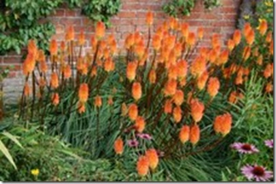 Kniphofia_sp.Croft_Castle