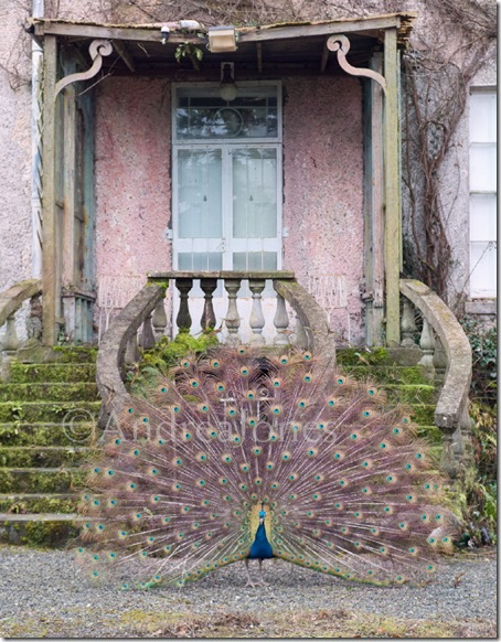 Male Peacock displays in front of Altamont House