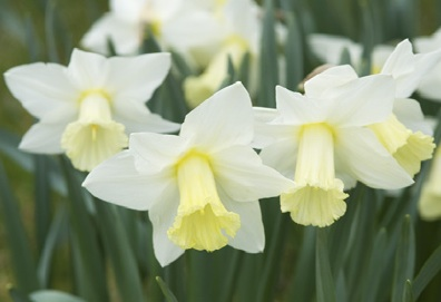 Narcissus 'Beersheba', the most famous daffodil of the breeder Rev. Engleheart. Pic: Jo Whitworth